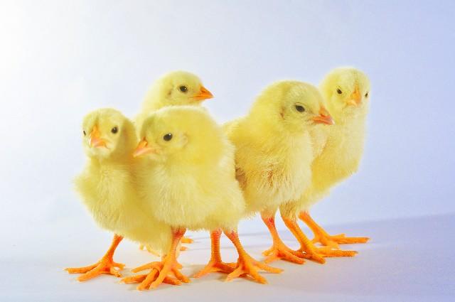 恐竜は鳥に進化した?何故絶滅した事になってるの?