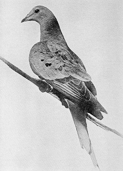 リョコウバト50億羽の絶滅原因!100年前の3つの悲劇