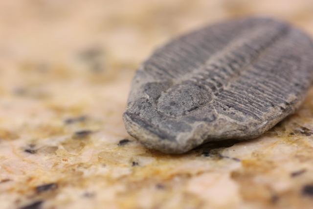 三葉虫の特徴と生態まとめ!全5種類をわかりやすく紹介!